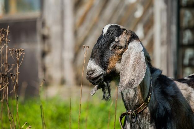 南アフリカのboerヤギや屋外自然の子羊doelingの肖像画