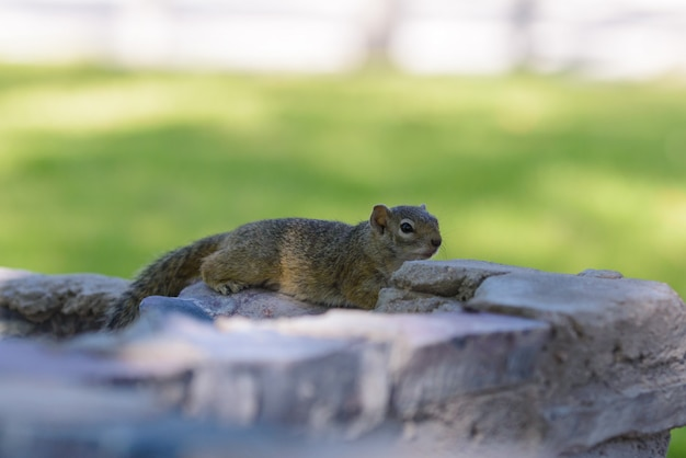 South african ground squirrel xerus inauris resting on the stone
