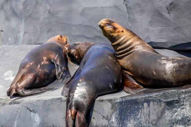 南アメリカのアシカまたはオタリアflavescens