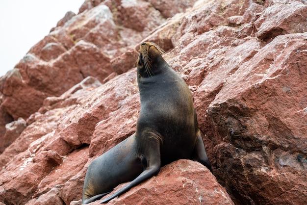 페루의 발레스타스 제도의 돌 위에서 쉬고 있는 남미 바다 사자 또는 바다 늑대