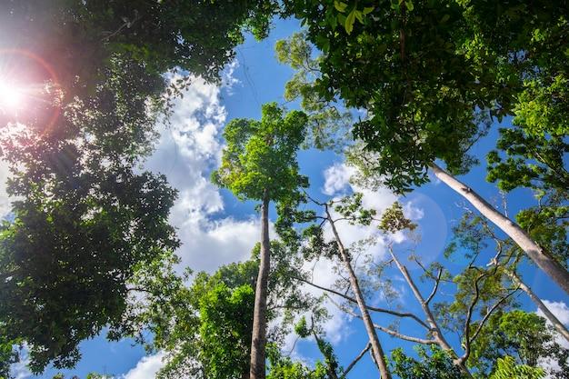 Туристическая достопримечательность юго-восточной азии, малайзия борнео, сандакан, сабах, большое дерево в джунглях