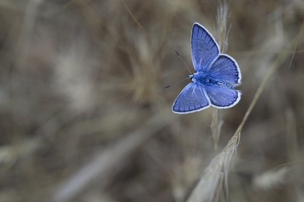 Blu del sud (polyommatus celina),