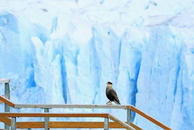 Southern crested caracara bird walking on boardwalk railing in perito moreno glacier, patagonia, argentina