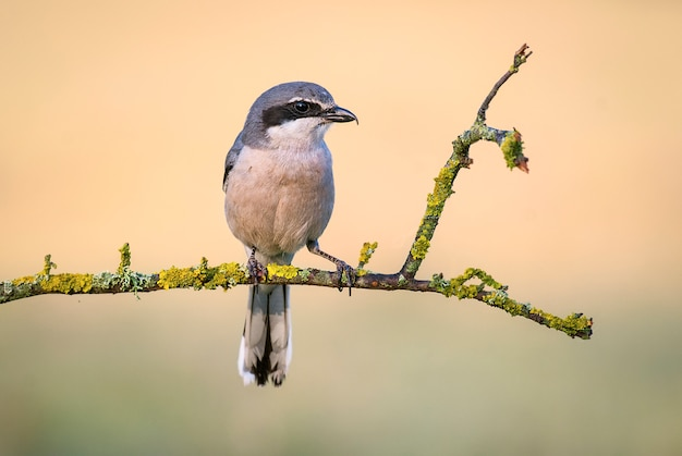 Southern grey shrike lanius excubitor