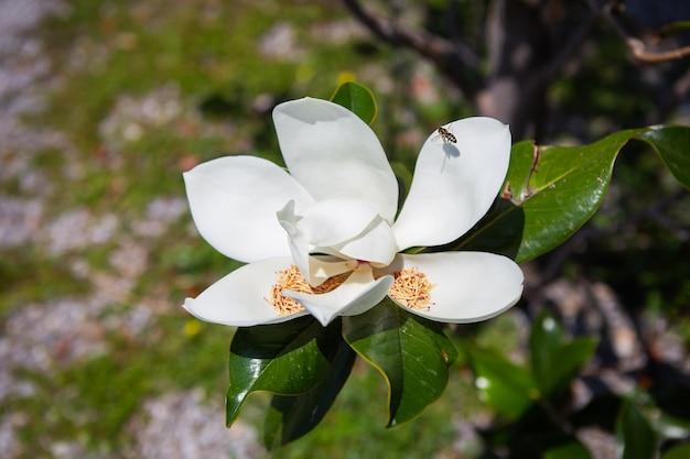 화창한 날에 남부 목련(magnolia grandiflora) 나무 가지에 잎과 꽃이 있습니다. 아름다운 여름날.