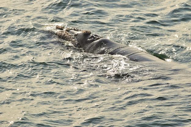 Южный кит отдыхает на поверхности моря, в херманусе, южная африка
