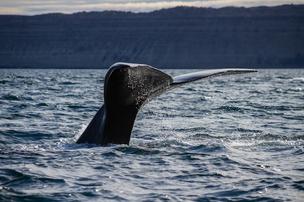 A southern right whale tail in ocean near the coast.