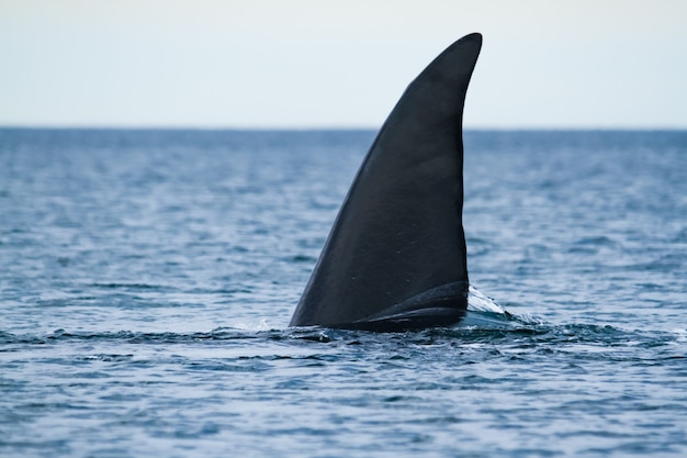 A southern right whale tail