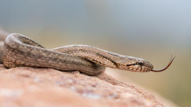 Southern smooth snake, coronella girondica
