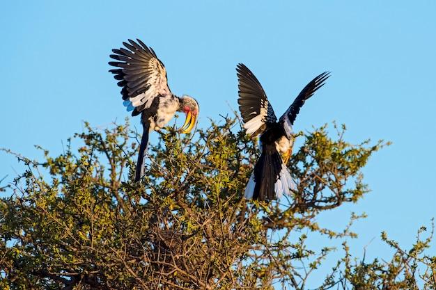 Southern yellow-billed hornbills during breeding season in botswana, africa