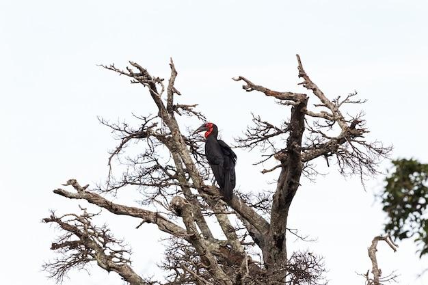 Southhern ground hornbill on branch maasai mara africa