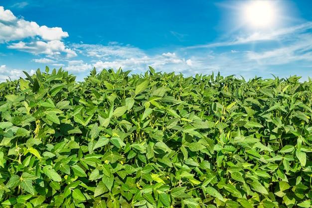 青い空と日差しの中で大豆畑。