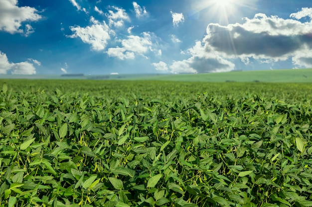 Soy field in the sunshine with blue sky.