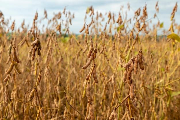 収穫の準備ができている乾燥した穀物の大豆プランテーション。