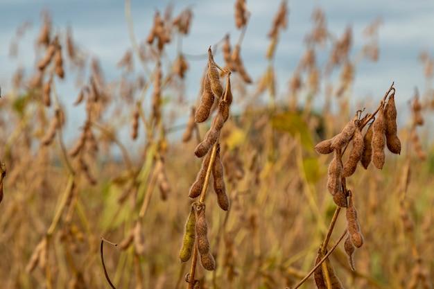 Плантации сои с сухим зерном, готовые к сбору урожая.