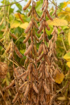 Soy plantation with dry grains, ready for harvest.
