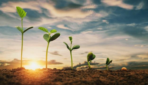 푸른 하늘 배경으로 농장에서 콩 성장. 농업 식물 시드 성장 단계 개념