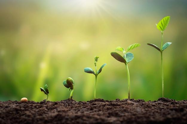 緑の葉のある農場での大豆の成長。農業植物播種成長ステップの概念