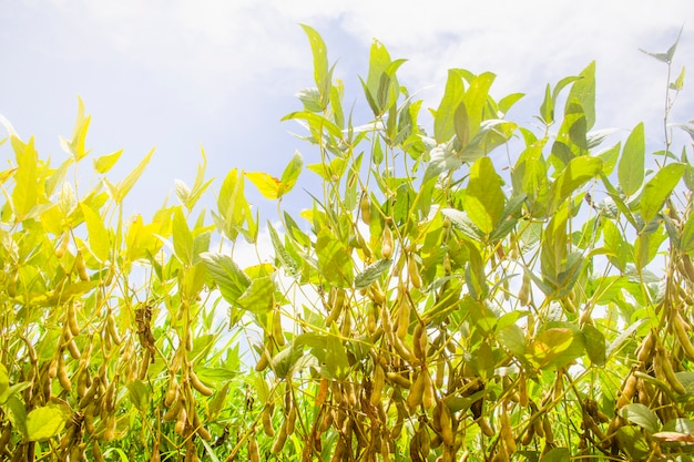 Soybean plantation in brazil. soya bean with pods