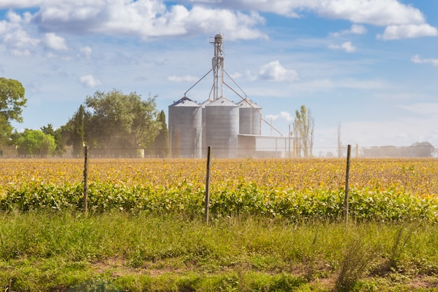 Soybean plantation in the field with defocused silos in the background