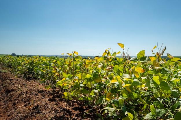 Плантация сои в солнечный день в бразилии.