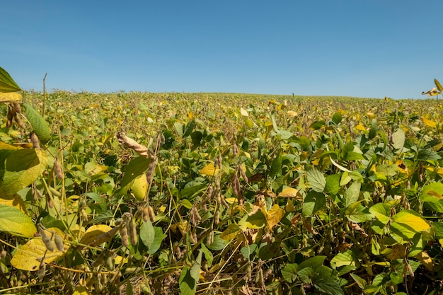 Soybean plantation on a sunny day in brazil.