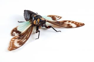 セミ科sp蝉を間近