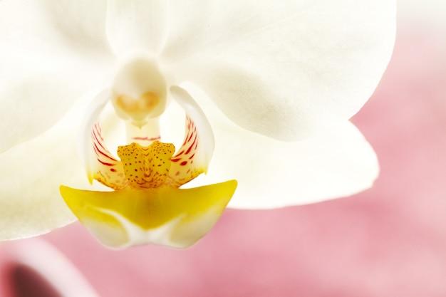 スパコンセプト。ピンクの紫色の背景に美しい白い蘭の花。水平。スペースをコピーします。