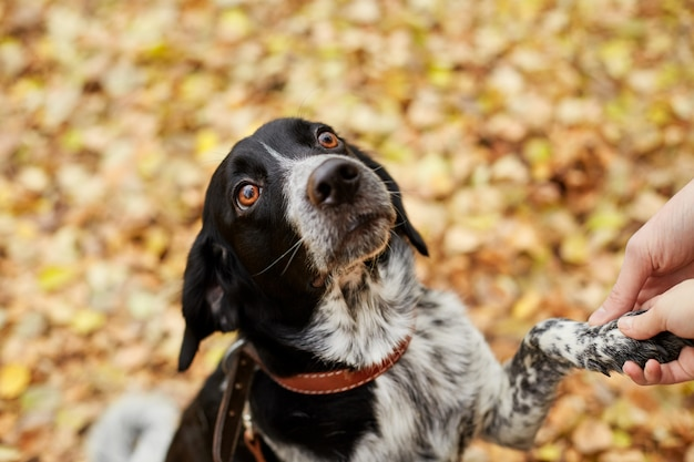 Spaniel dog with long ears walks in the autumn park and looks at the owner. dog on nature, russian spaniel
