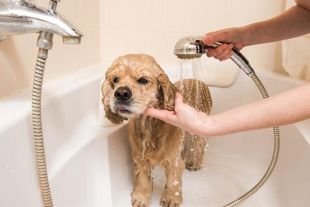 スパニエルはシャワーを浴びています