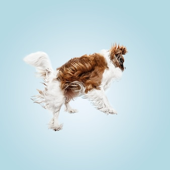 스튜디오에서 재생하는 발 바리 강아지. 귀여운 강아지 또는 애완 동물은 파란색 배경에 고립 점프입니다. 무심한 킹 찰스. 텍스트 또는 이미지를 삽입 할 여백입니다. 운동, 동물 권리의 개념.