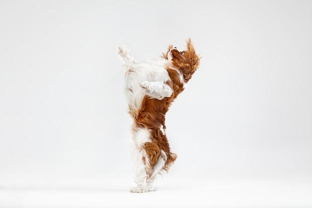 スタジオで遊んでいるスパニエルの子犬。かわいい犬やペットは白い背景で孤立してジャンプしています。キャバリアキングチャールズ。テキストまたは画像を挿入するための負のスペース。動きの概念、動物の権利。