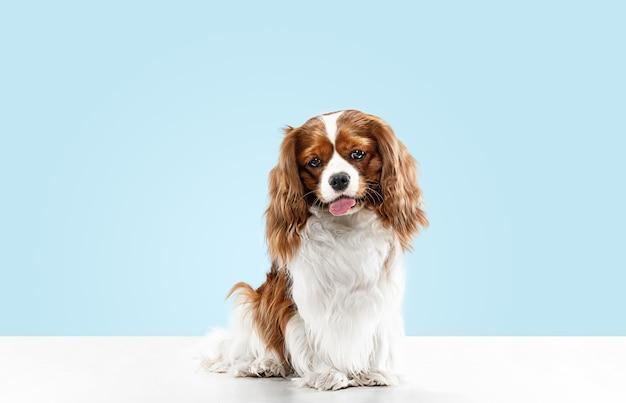 스튜디오에서 재생하는 발 바리 강아지. 귀여운 강아지 또는 애완 동물은 파란색 배경에 고립 앉아있다. 무심한 킹 찰스. 텍스트 또는 이미지를 삽입 할 여백입니다. 운동, 동물 권리의 개념.