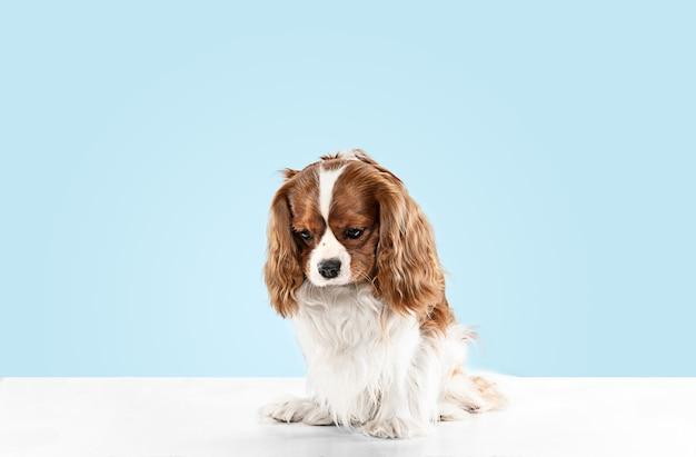 スタジオで遊んでいるスパニエルの子犬。かわいい犬やペットは青い背景に孤立して座っています。キャバリアキングチャールズ。テキストまたは画像を挿入するための負のスペース。動きの概念、動物の権利。