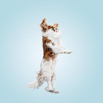 Cucciolo di spaniel che gioca in studio. il cagnolino o l'animale domestico sveglio sta saltando isolato su priorità bassa blu. il cavalier king charles. spazio negativo per inserire il testo o l'immagine. concetto di movimento, diritti degli animali.