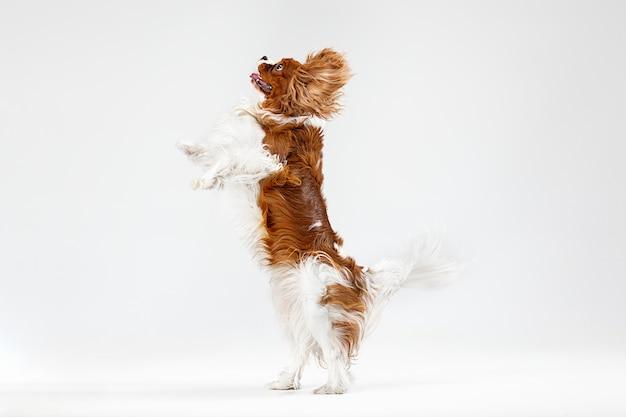 Cucciolo di spaniel che gioca in studio. il cagnolino o l'animale domestico sveglio sta saltando isolato su priorità bassa bianca. il cavalier king charles. spazio negativo per inserire il testo o l'immagine. concetto di movimento, diritti degli animali.