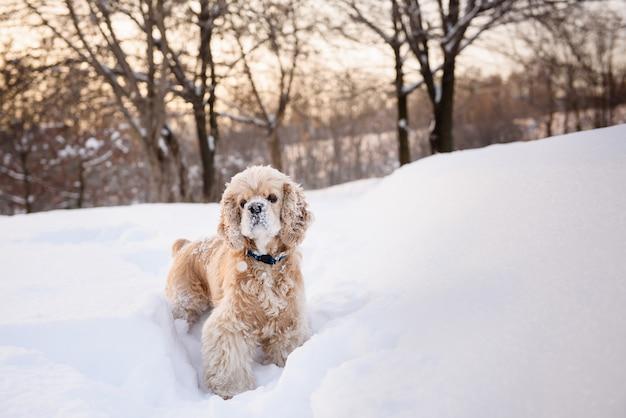 Spaniel in snowy forest
