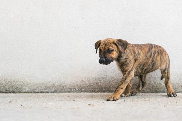 흰 벽 복사 공간을 배경으로 콘크리트 바닥을 걷고 있는 스페인 알라노 강아지