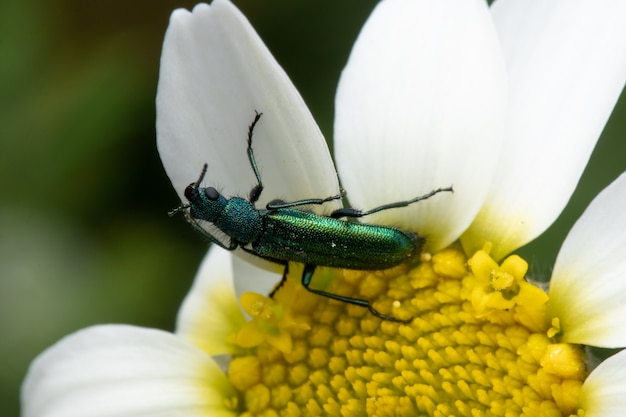 Spanish fly on a daisy flower after feeding on nectar from it