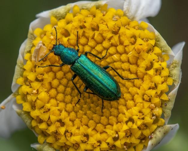 Spanish fly on a daisy flower in a garden feeding on nectar