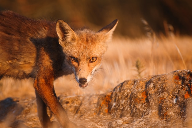 Spanish fox (vulpes vulpes)