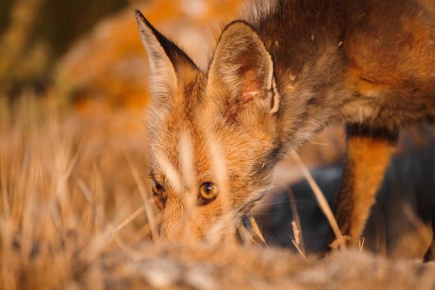 Spanish fox (vulpes vulpes)