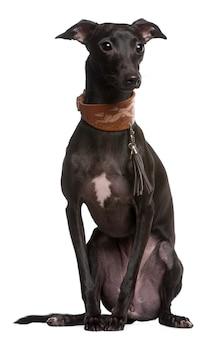 分離されたスペインのグレイハウンド犬の肖像画