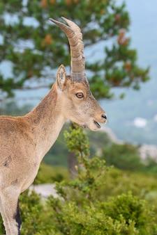 Spanish ibex in nature