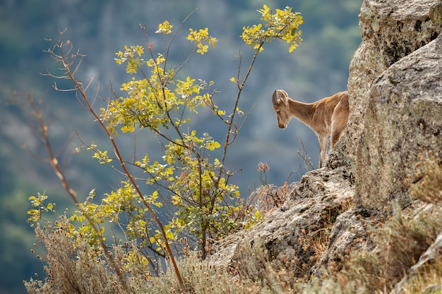 自然生息地のスペインアイベックス若い男性野生のイベリアスペインの野生動物山の動物