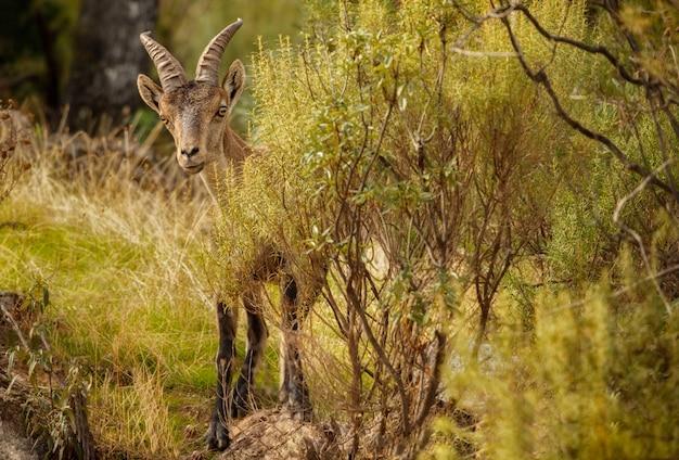Stambecco spagnolo giovane maschio nell'habitat naturale iberia selvaggia fauna spagnola animali di montagna