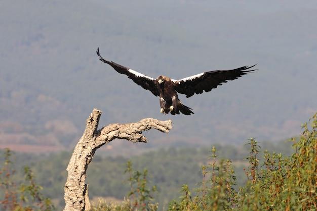 風の強い日の早朝に地中海の森を飛んでいるスペイン帝国のワシの大人の女性