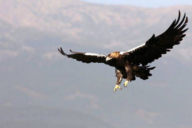 Spanish imperial eagle adult  female flying in a mediterranean forest on a windy day early morning