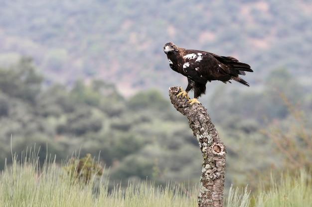 Испанский имперский орел взрослая самка в средиземноморском лесу в ветреный день