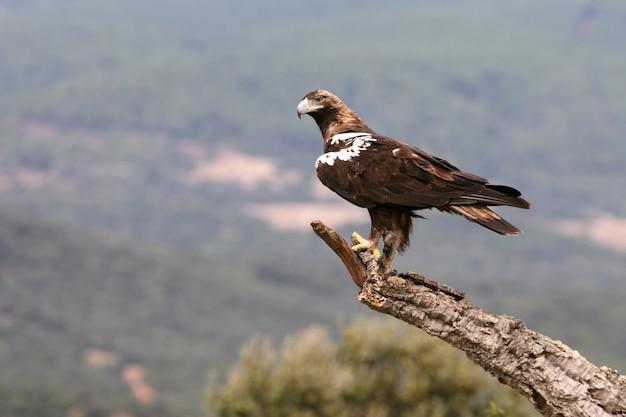 Испанский имперский орел взрослая самка в средиземноморском лесу